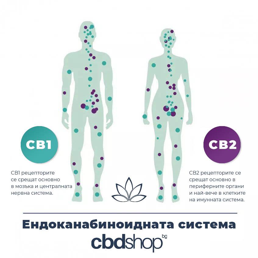 cbd масло - ендоканабиноидна система